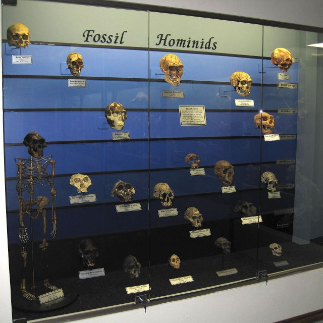 1280px-Fossil_hominids